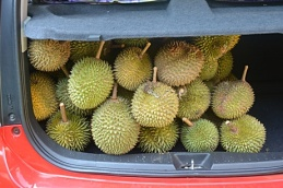 Durian 11