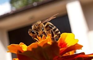 Lebah Madu 02